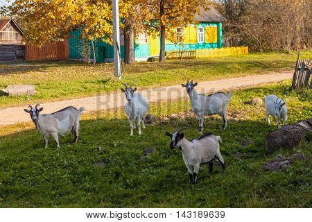 Herd of goats gazing into camera near village road in front of wooden house