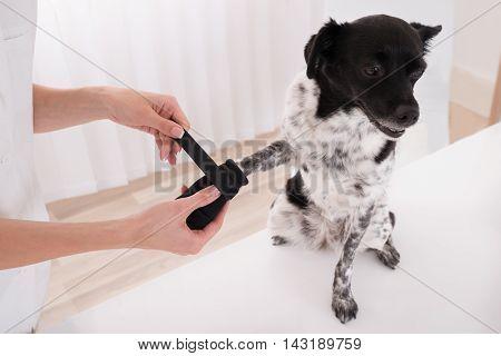 Close-up Of A Vet Putting Bandage On Dog's Paw