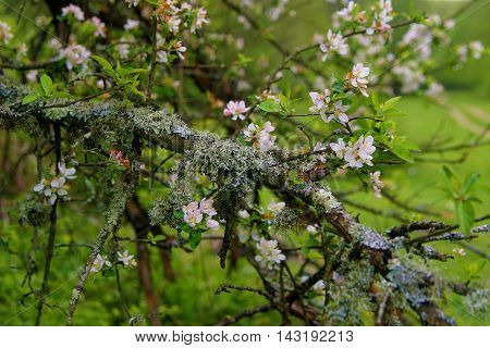 Branch with blooming white flowers in the woods V