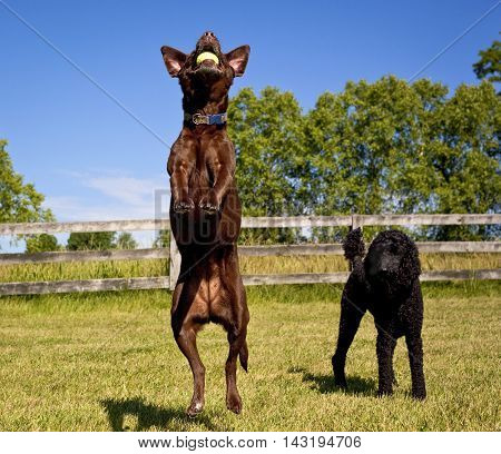Funny chocolate lab in mid air leap with green ball while black standard poodle stands behind watching