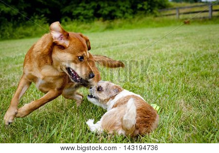 Two mutts playfully chasing each other on green lawn