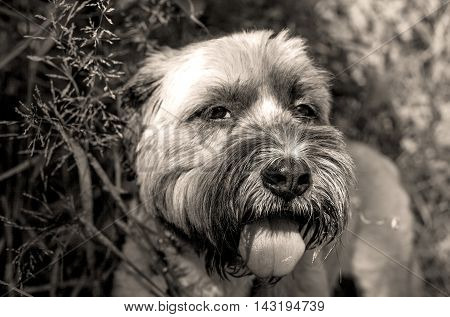 Sepia close up of panting mutt with tongue out