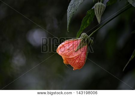 Abutilon is a large genus of flowering plants in the mallow family, Malvaceae. It is distributed throughout the tropics and subtropics of the Americas, Africa, Asia, and Australia. General common names include Indian mallow and velvetleaf. The genus name