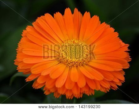 Calenduleae is a flowering plant tribe of the family Asteraceae. Calenduleae has been widely recognized since Alexandre de Cassini in the early 19th century.