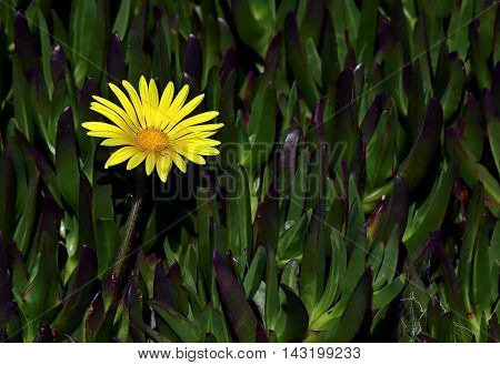 Glebionis coronaria, formerly called Chrysanthemum coronarium, is a species of flowering plant in the daisy family. It is native to the Mediterranean region.