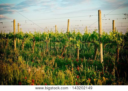 Organic vineyard in Tuscany, Italy, biodiversity promoted, toned image