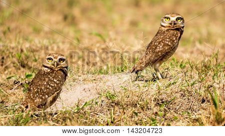 A couple of Burrowing Owl around the nest in the floor.