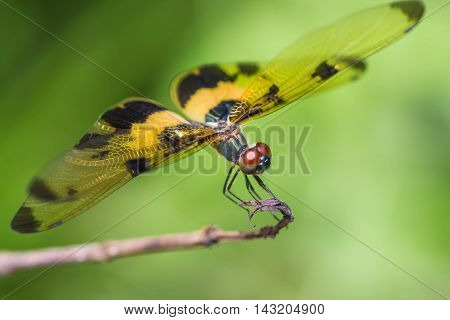 a resting yellow-black dragonfly on nature background