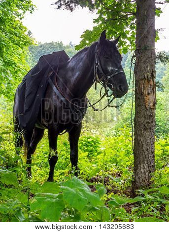 Black horse stands tied to a tree
