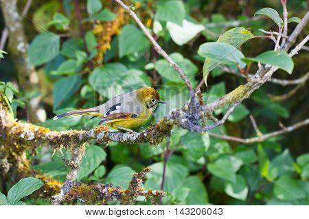 Chestnut-tailed Minla In Nature
