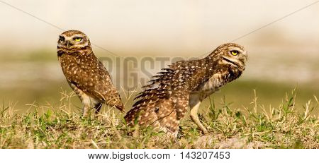 Male Burrowing Owl showing of its wings