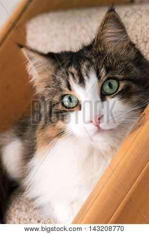 Beautiful maine coon cat a soft focus window light shot of a brown white and black domestic cat looking in to the camera with green eyes sat on the stairs ideal for a postcard or calendar