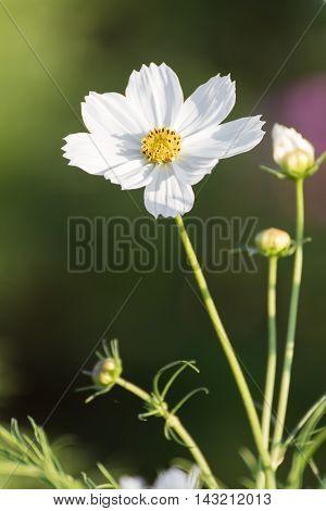 White Cosmos Flower In Garden