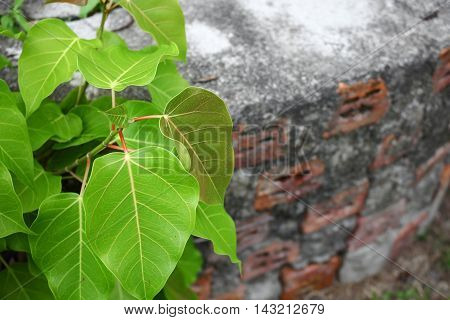 Bodhi tree young (Ficus religiosa) Growing from the wall
