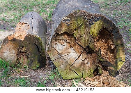 two big old trunks of trees felled