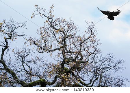Silhouette of a crow (Corvus brachyrhynchos) flying against bright sky