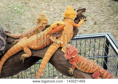 Colorful Bearded dragon on Wooden Base .