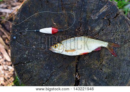 rudd and fishing tackle on a tree stump
