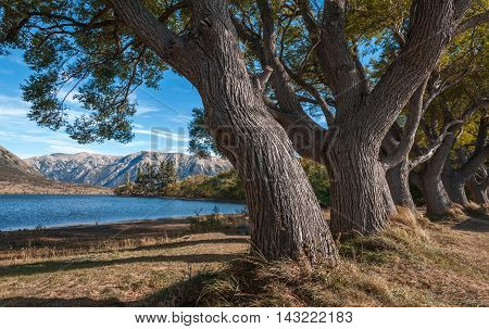 Big Trees By Lake Pearson / Moana Rua Wildlife Refuge Located In Craigieburn Forest Park In Canterbu
