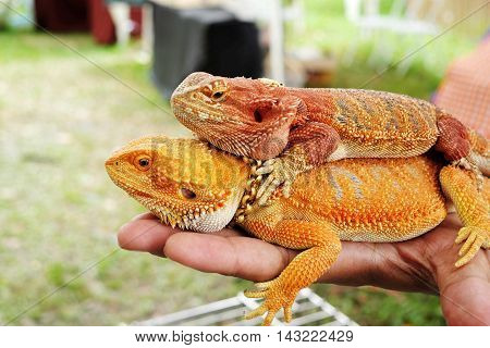 Bearded dragon bright colors on hand .