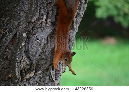 Beautiful red squirrel hanging upside down and doing exercises