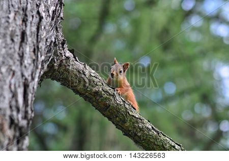 Beautiful red squirrel sitting on a branch and looking at passers-by