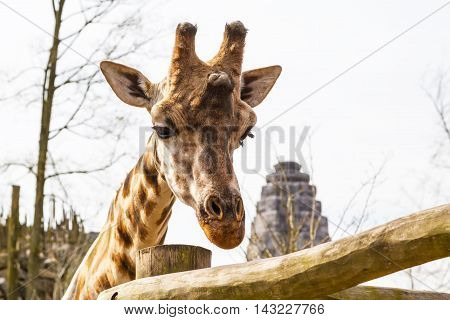 Sad giraffe head animal background with copy space
