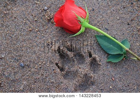 Red Rose beside a dog paw print in the beach sand.