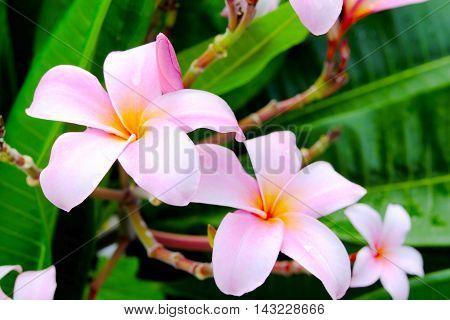 Frangipani flower or Leelawadee flower on the tree.