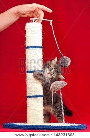 Curious kitten on the scratching post over red background
