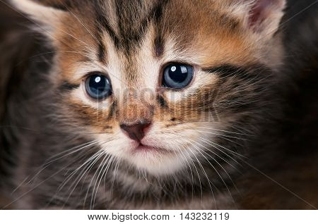 Portrait of sad small siberian kitten with blue eyes close-up