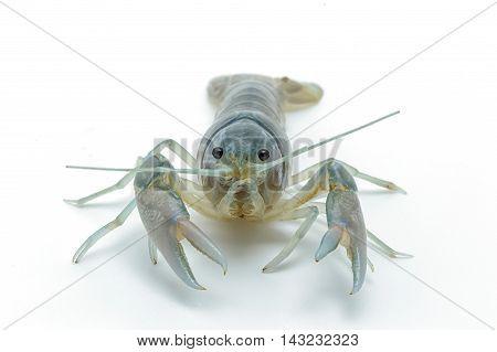 crayfish - Fresh water Lobster on white background