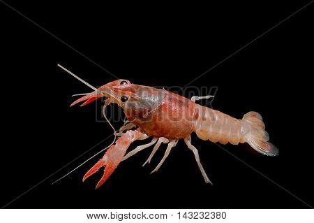 Orange crayfish - Fresh water Lobster on white background