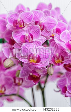 Beautiful flower Orchid pink phalaenopsis close up