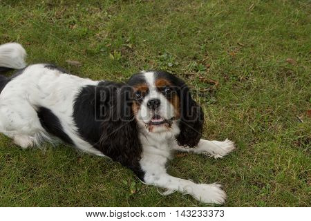 Cute Puppy - Cavalier King Charles Spaniel Tricolor Puppy In Park
