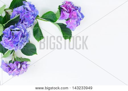 blue and violet hortensia blooming flowers on white with copy space