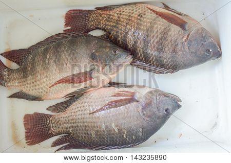 close up fresh nile tilapia fish in market