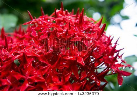 Drop of water on red spike flower.