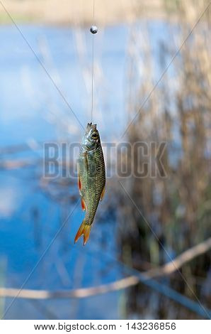 caught roach hanging on a fishing tackle