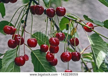 Beautiful cherry which hang on a branch and waiting for reading.
