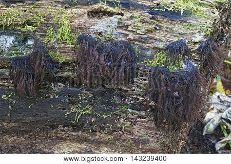 Chocolate tube slime molds (Stemonitis splendens). Called Hairy stemonitis also