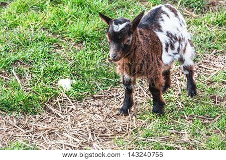 Nice Small young goat on a meadow.