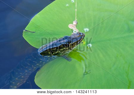 caught pike on silicone and green lily pad
