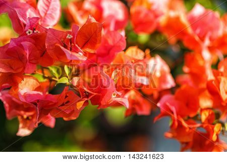 Bougainvillea bunch with green petals in Thailand