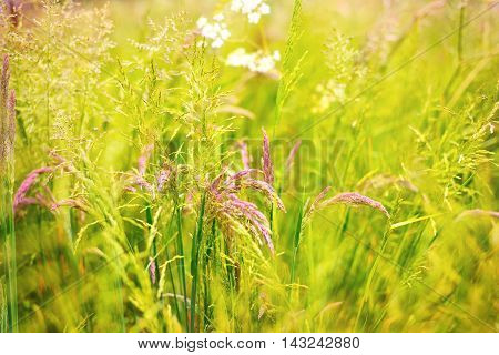 Spring meadow with various grasses and flowers.