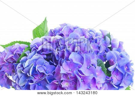 blue and violet fresh hortensia flowers border close up isolated on white background