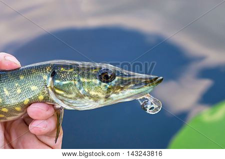 pike and silicone lure in hand fisherman