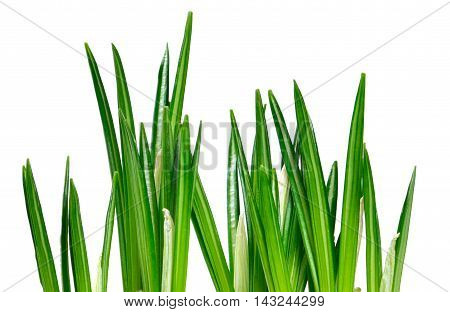 Green grass background with selective focus and copy space. Isolated on white.
