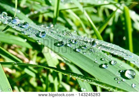 Green grass with dew drops and selective focus, close-up.