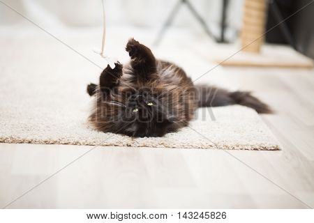 Brown Maine Coon cat lying on the floor and playing with toy.